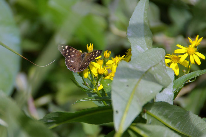 Speckled Wood on Fen Ragwort