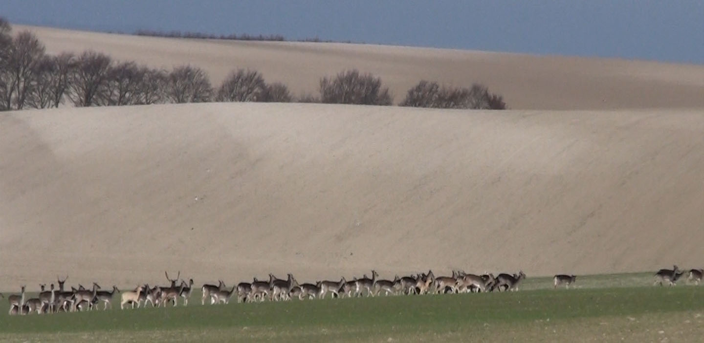 Wild Deer near Royston