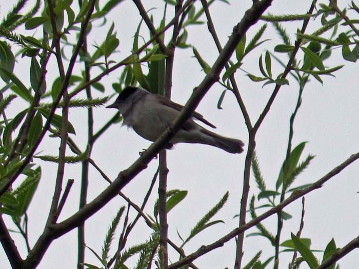 Blackcap which sang to us