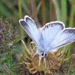 Blue Butterfly-1