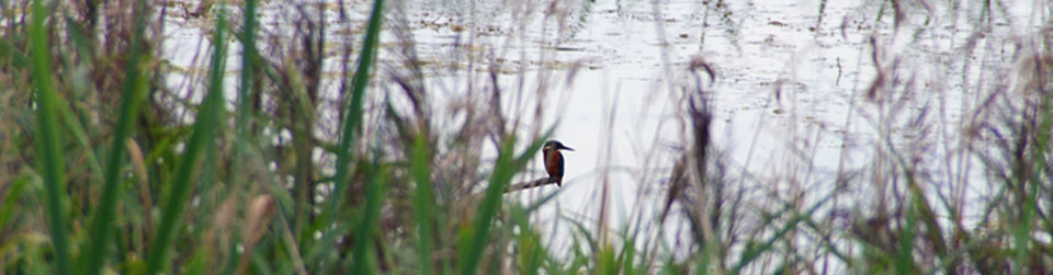 Kingfisher, Lakenheath Fen