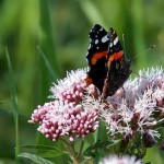 IMGQ1929a Red Admiral